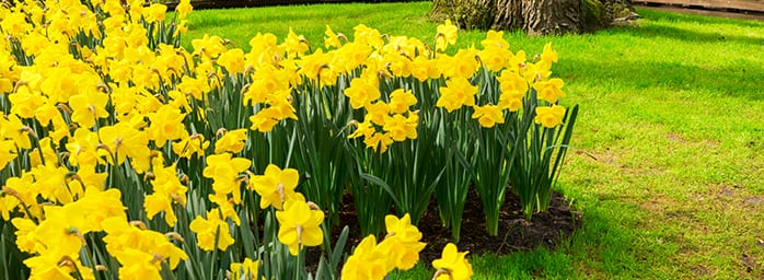 daffodils-coombe-abbey