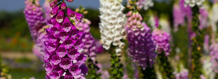 foxgloves-coombe-abbey